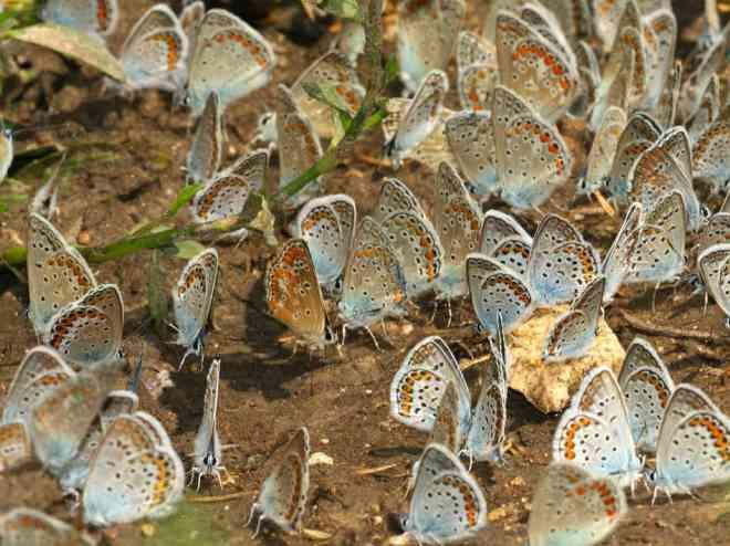 butterflycluster