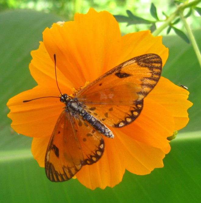 Orange_butterfly_on_orange_flower